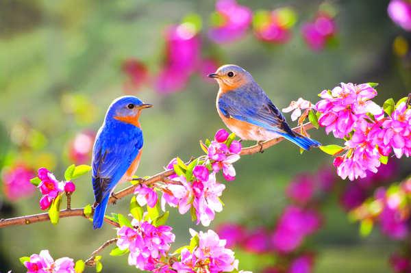 Quand Le Printemps Est La Les Oiseaux Chantent Niminoak